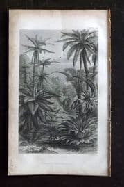 Rhind 1857 Antique Botanical Print. Tree Ferns